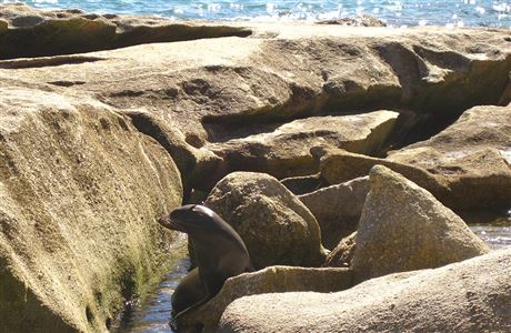 Fur seal on rocks.