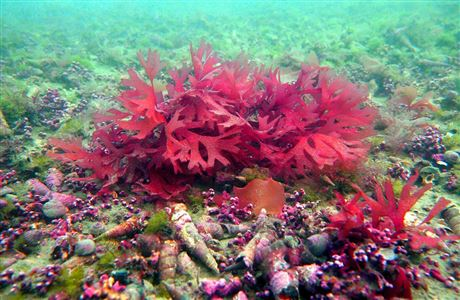 Rhodoliths at Tonga Island Marine Reserve.