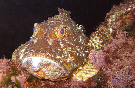Scorpian fish at Poor Knights Marine Reserve.