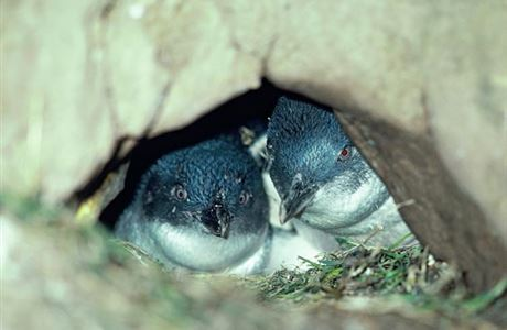 Southern little blue penguins.