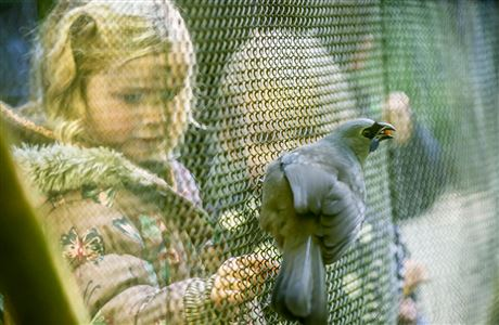 Girl looking at kokako at Mount Bruce Wildlife Centre.