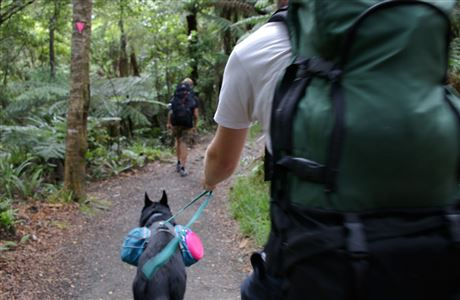 Person walking dog on Orongorongo Track.