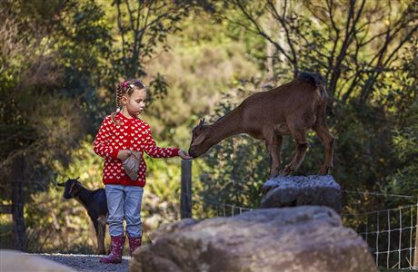 Girl feeding Arapawa goat.