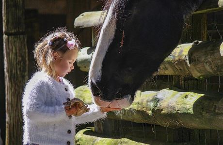 Girl feeding Clydesdale horse.