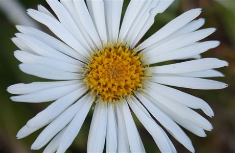 Mountain daisy.