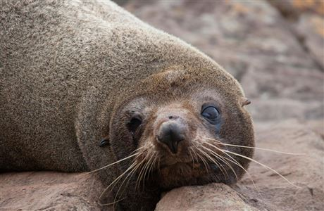 New Zealand fur seal/kekeno.