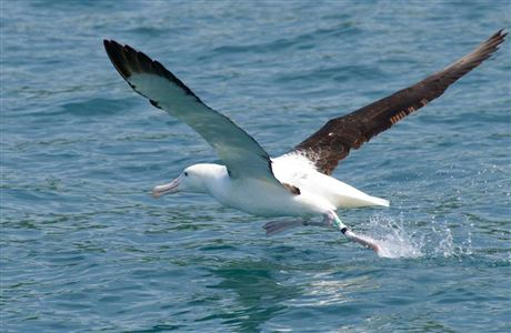 Record your royal albatross sighting