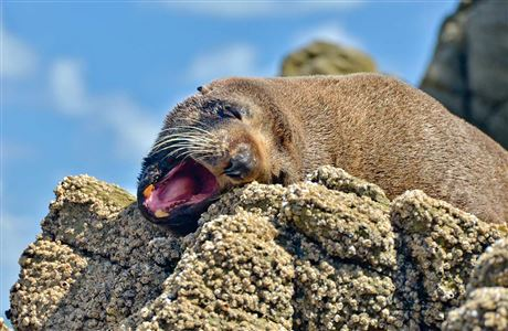 Threats to New Zealand fur seal