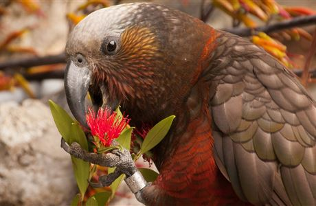 South Island kākā monitoring