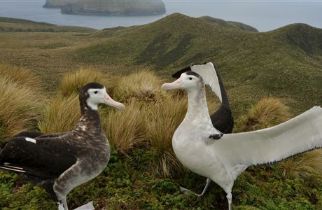 Antipodean and Gibson's wandering albatross