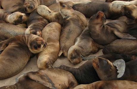 Threat Management plan for New Zealand sea lion