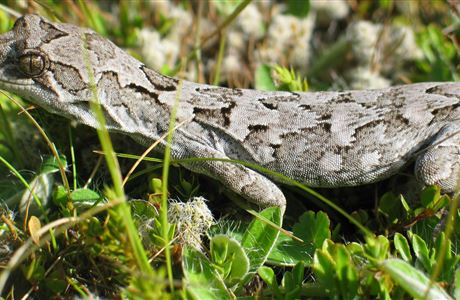 Report alpine lizard sightings