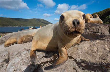 Research and fieldwork to recover the New Zealand sea lion population