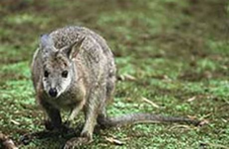 Kawau Island Wallabies Animal Pests