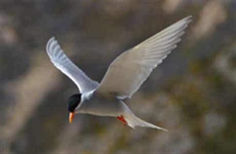 Native NZ Birds: Black-fronted Tern (Chlidonias albostriatus)