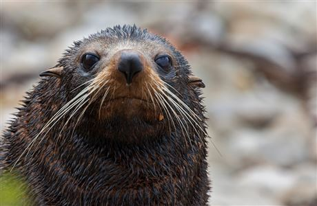 Facts about New Zealand fur seal