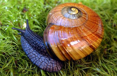 Powelliphanta snail