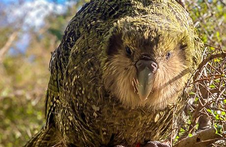 Kākāpō population reaches a record high of 213