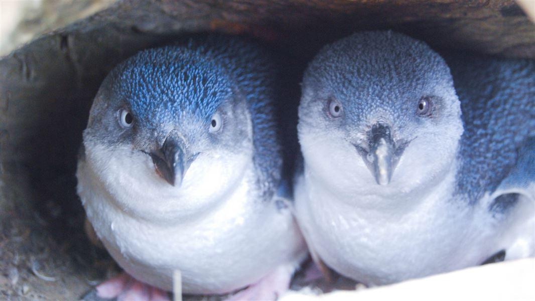 Little penguin/korora: Little blue penguin: New Zealand native sea and  shore birds