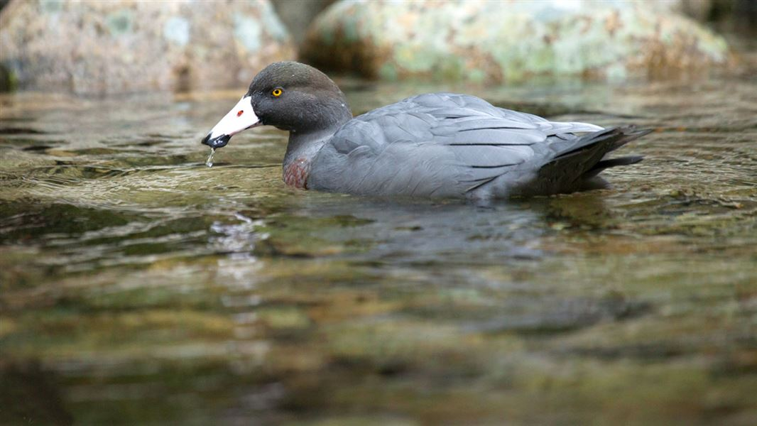 Blue duck/whio: Wetland and river birds