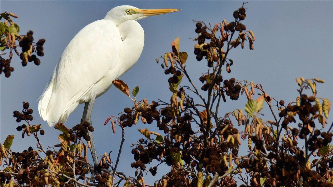 White Heronktuku New Zealand Native Wetland And River Birds