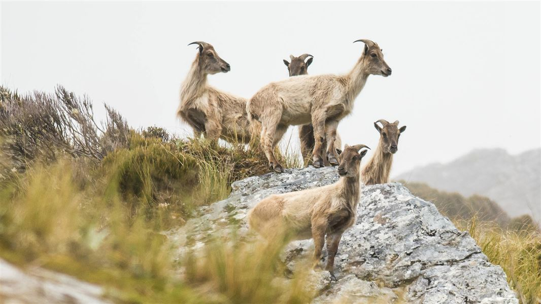 Tahr (thar): Pests and threats