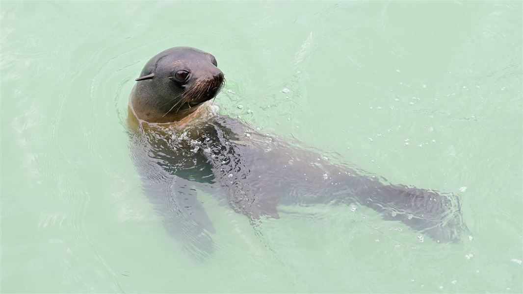 Fur seals don't need your hot chips