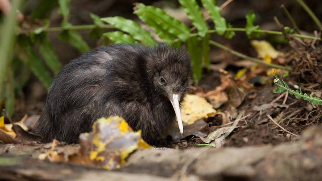 Facts about kiwi  NZ Native birds c6c36a1affc7