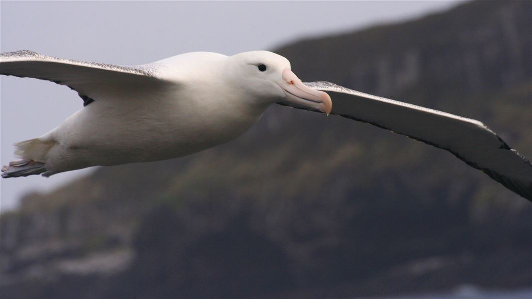 Royal Albatrostoroa New Zealand Sea And Shore Birds