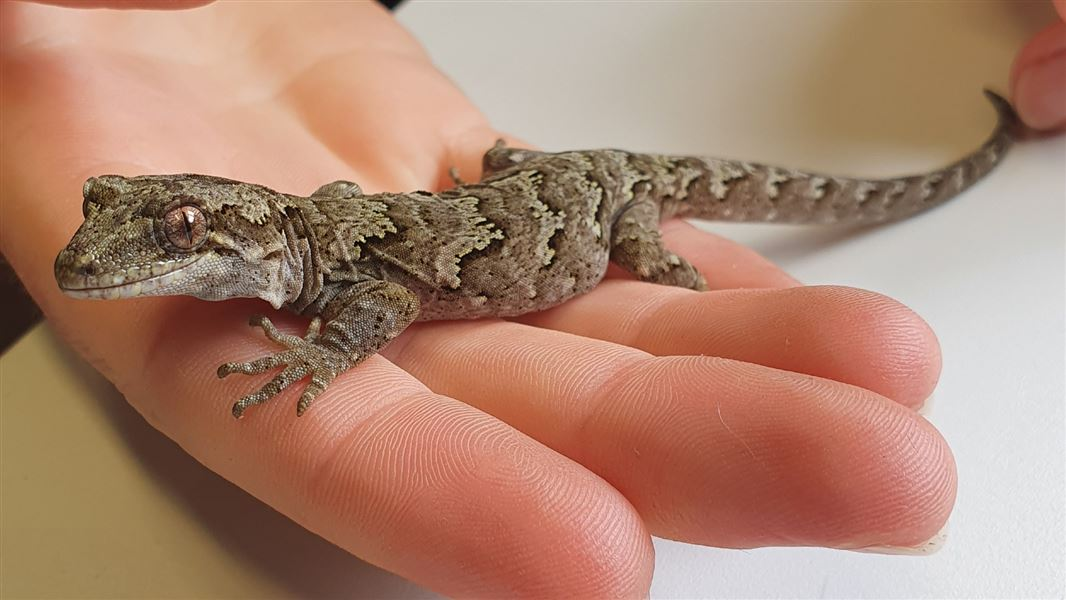 Lizard finds in South Westland excite