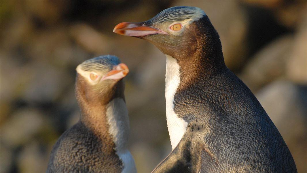 Penguin bermata kuning