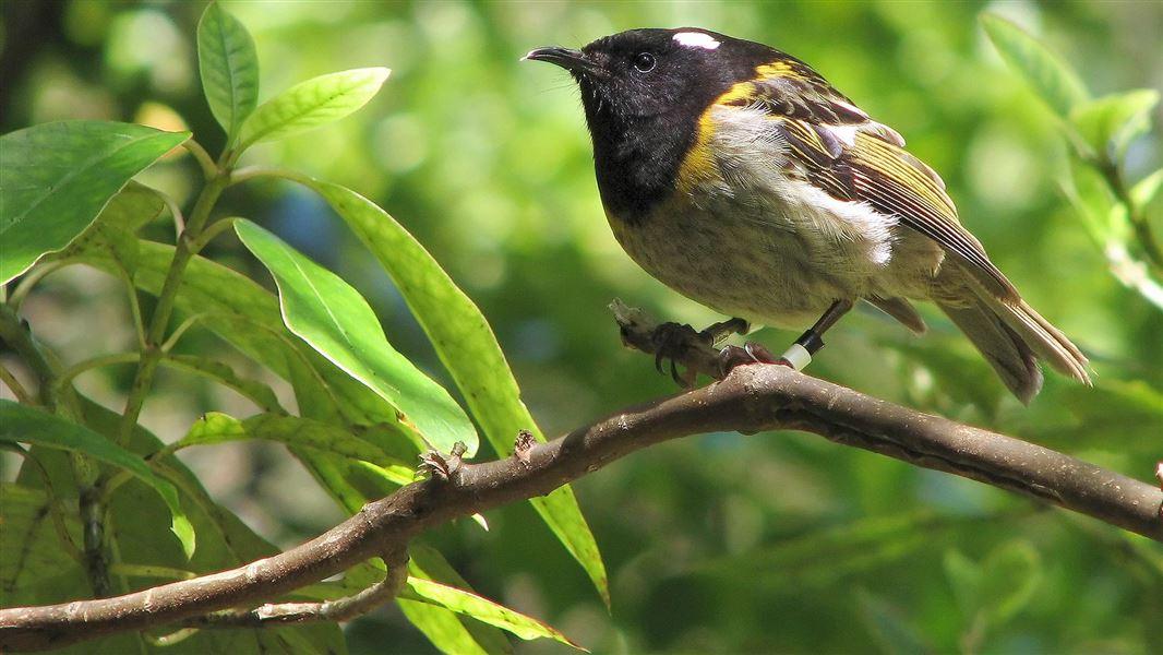 Stitchbird/hihi: New Zealand native land birds