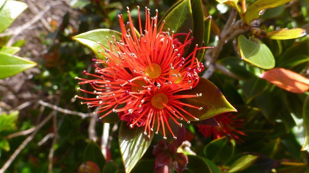 Rātā New Zealand Native Plants