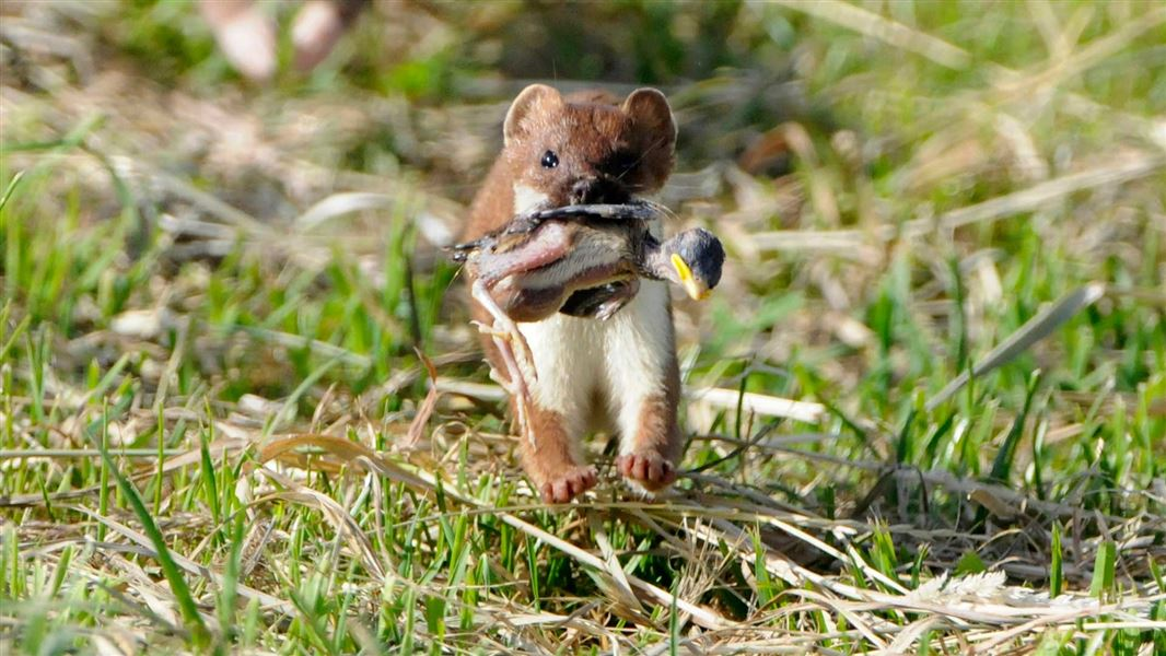 Image result for Stoats