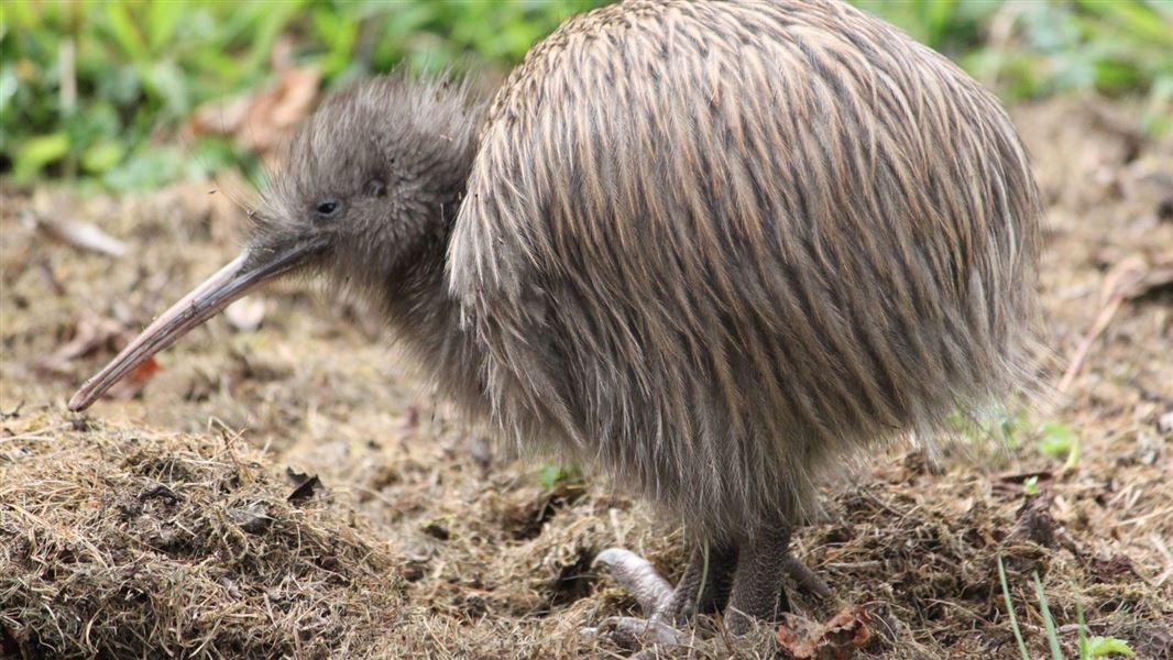 southern-brown-kiwi-tokoeka-stewart-isla