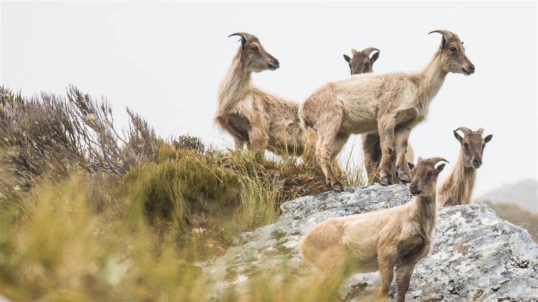 Himalayan tahr control to protect national parks
