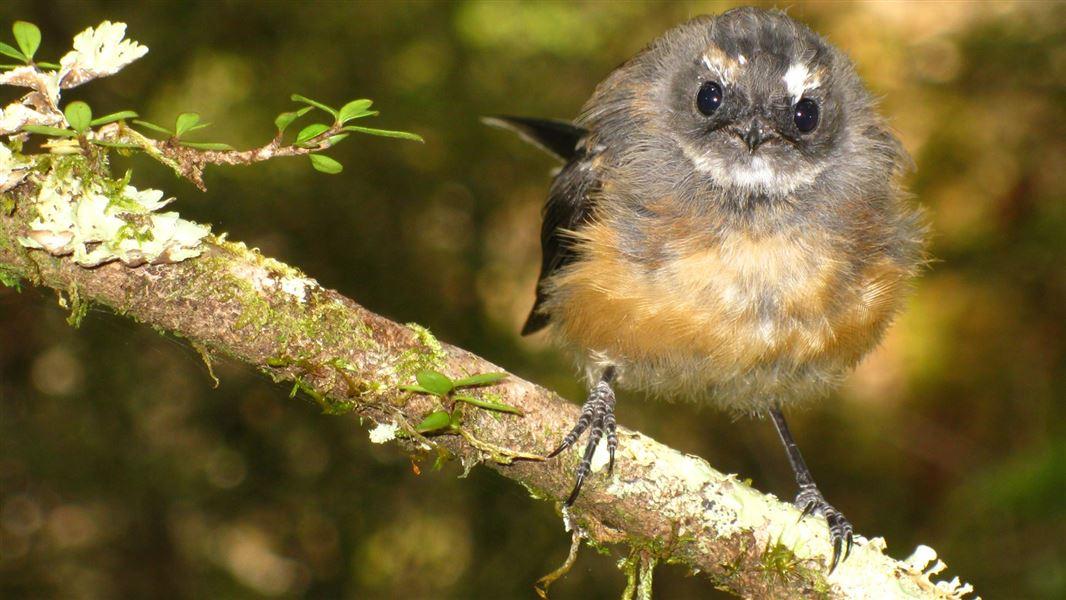 Fantail/pīwakawaka: New Zealand native land birds