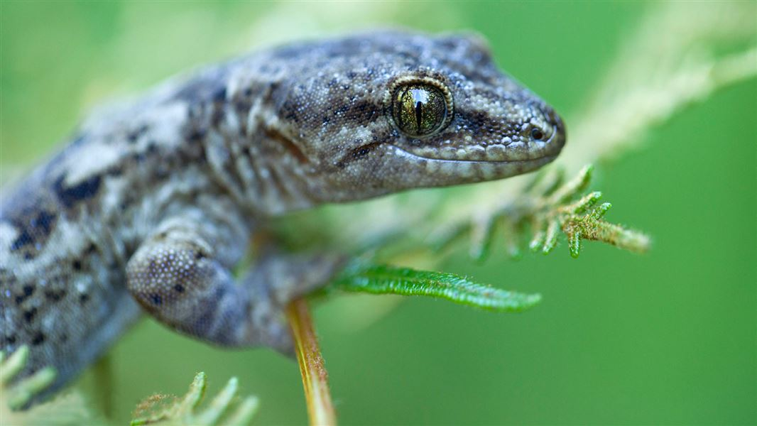 New Zealand geckos: Native animal conservation