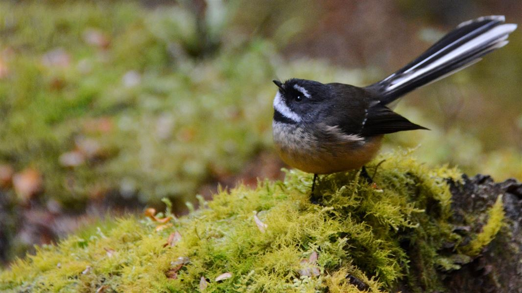 New Zealand forest and mountain birds: Birds