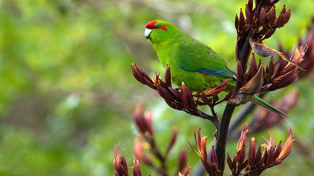 New Zealand parakeet/kākāriki: land birds