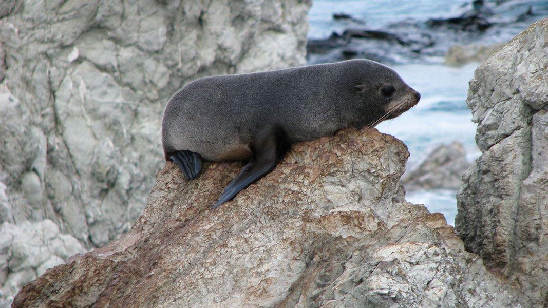Be respectful to the seals – Kia tau te Aio mō ngā kekeno