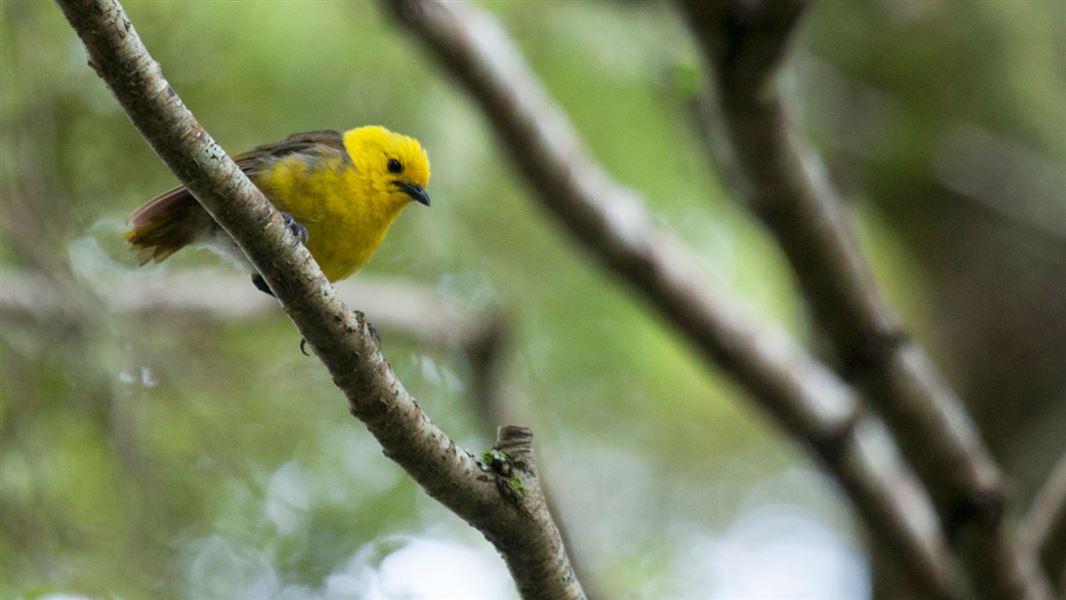 yellowhead mohua new zealand native land birds