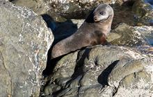 New Zealand fur seal/kekeno