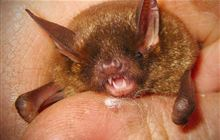 Short-tailed bat