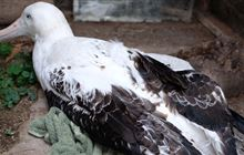 Plastic bottle found in stomach of emaciated albatross