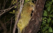Kākāpō behaviour