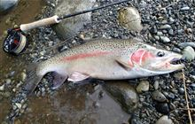 Trout – harvest or 'catch and release'?