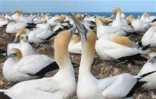 Cape Kidnappers Gannet Reserve: Places to go in Hawke's Bay