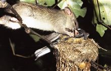 1080: New Zealand pest control methods
